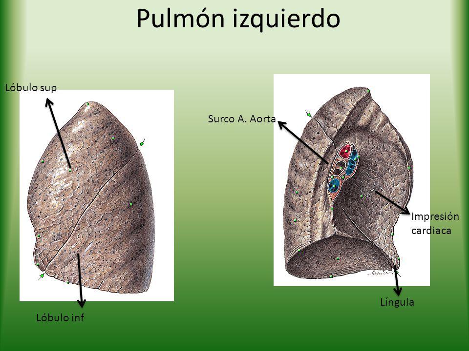 Pulmón izquierdo Lóbulo sup Lóbulo inf Surco A. Aorta Língula Impresión cardiaca