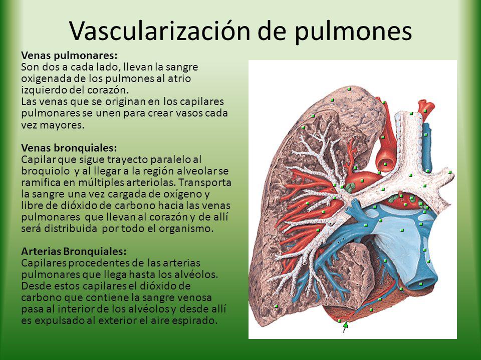 Vascularización de pulmones Venas pulmonares: Son dos a cada lado, llevan la sangre oxigenada de los pulmones al atrio izquierdo del corazón.