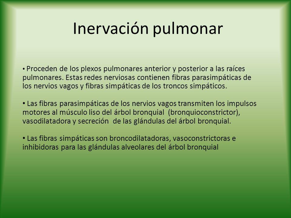 Inervación pulmonar Proceden de los plexos pulmonares anterior y posterior a las raíces pulmonares. Estas redes nerviosas contienen fibras parasimpáti