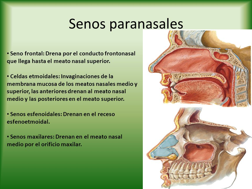 Senos paranasales Seno frontal: Drena por el conducto frontonasal que llega hasta el meato nasal superior. Celdas etmoidales: Invaginaciones de la mem
