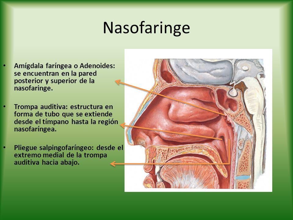 Nasofaringe Amígdala faríngea o Adenoides: se encuentran en la pared posterior y superior de la nasofaringe. Trompa auditiva: estructura en forma de t