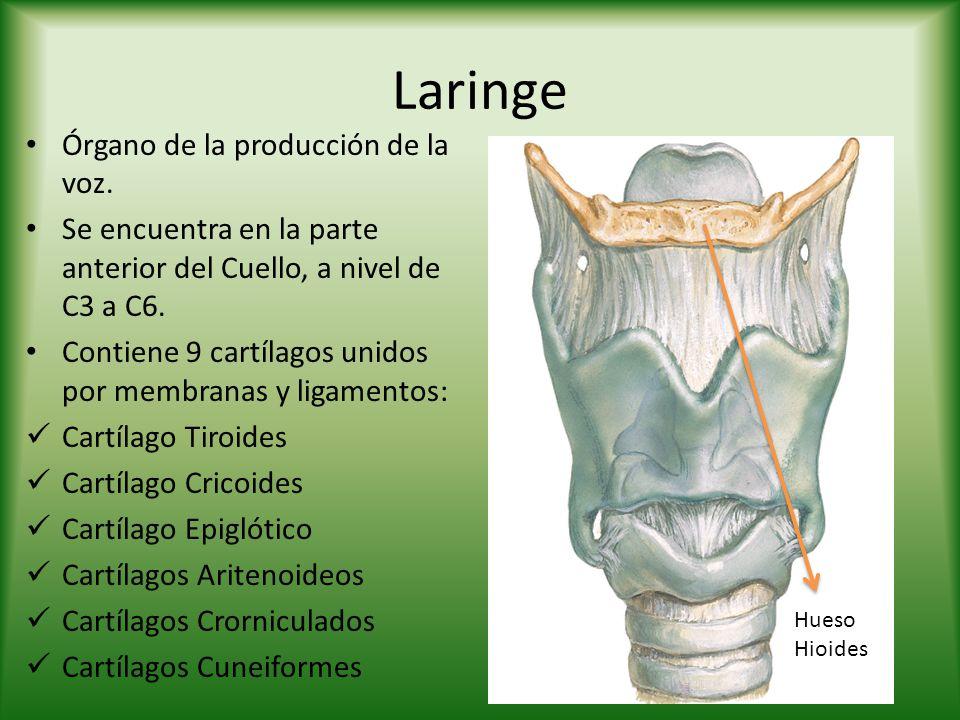 Laringe Órgano de la producción de la voz. Se encuentra en la parte anterior del Cuello, a nivel de C3 a C6. Contiene 9 cartílagos unidos por membrana