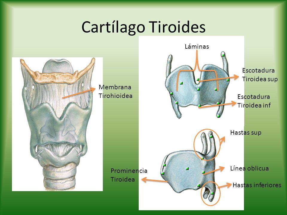 Cartílago Tiroides Láminas Escotadura Tiroidea sup Escotadura Tiroidea inf Membrana Tirohioidea Hastas sup Hastas inferiores Prominencia Tiroidea Líne