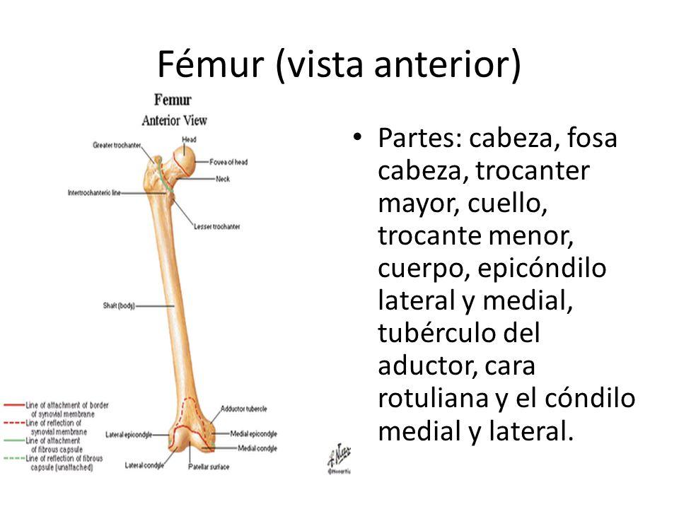 Fémur (vista anterior) Partes: cabeza, fosa cabeza, trocanter mayor, cuello, trocante menor, cuerpo, epicóndilo lateral y medial, tubérculo del aductor, cara rotuliana y el cóndilo medial y lateral.