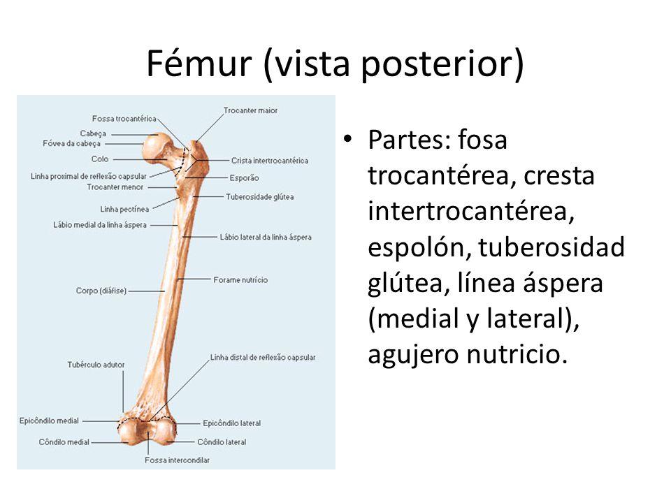Fémur (vista posterior) Partes: fosa trocantérea, cresta intertrocantérea, espolón, tuberosidad glútea, línea áspera (medial y lateral), agujero nutricio.
