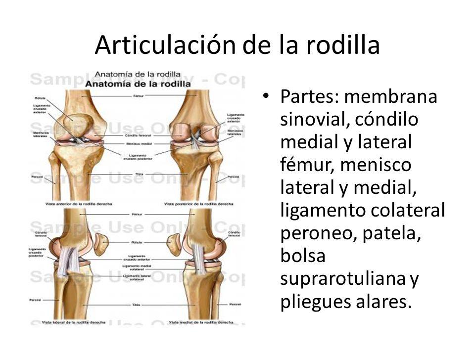 Articulación de la rodilla Partes: membrana sinovial, cóndilo medial y lateral fémur, menisco lateral y medial, ligamento colateral peroneo, patela, bolsa suprarotuliana y pliegues alares.