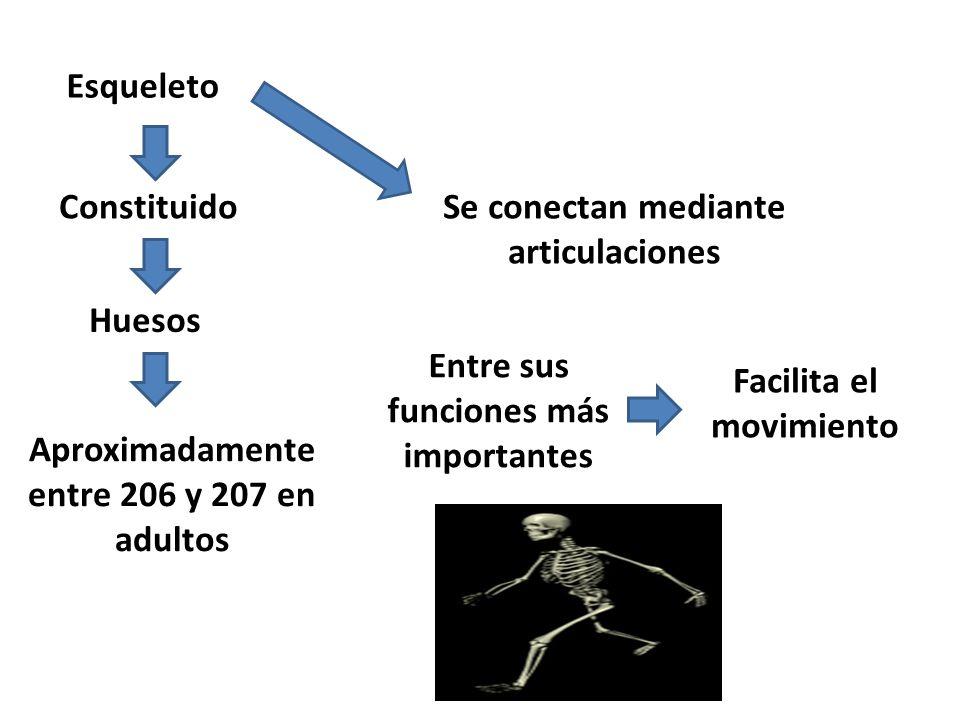 Esqueleto Constituido Huesos Aproximadamente entre 206 y 207 en adultos Se conectan mediante articulaciones Entre sus funciones más importantes Facilita el movimiento