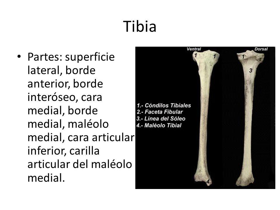 Tibia Partes: superficie lateral, borde anterior, borde interóseo, cara medial, borde medial, maléolo medial, cara articular inferior, carilla articular del maléolo medial.