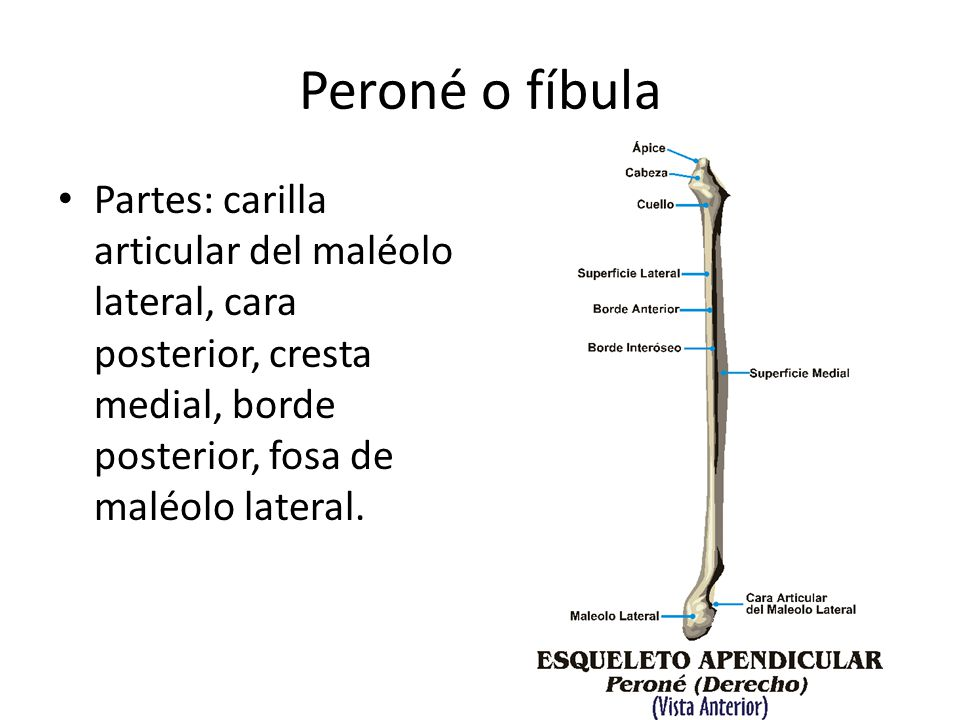 Peroné o fíbula Partes: carilla articular del maléolo lateral, cara posterior, cresta medial, borde posterior, fosa de maléolo lateral.