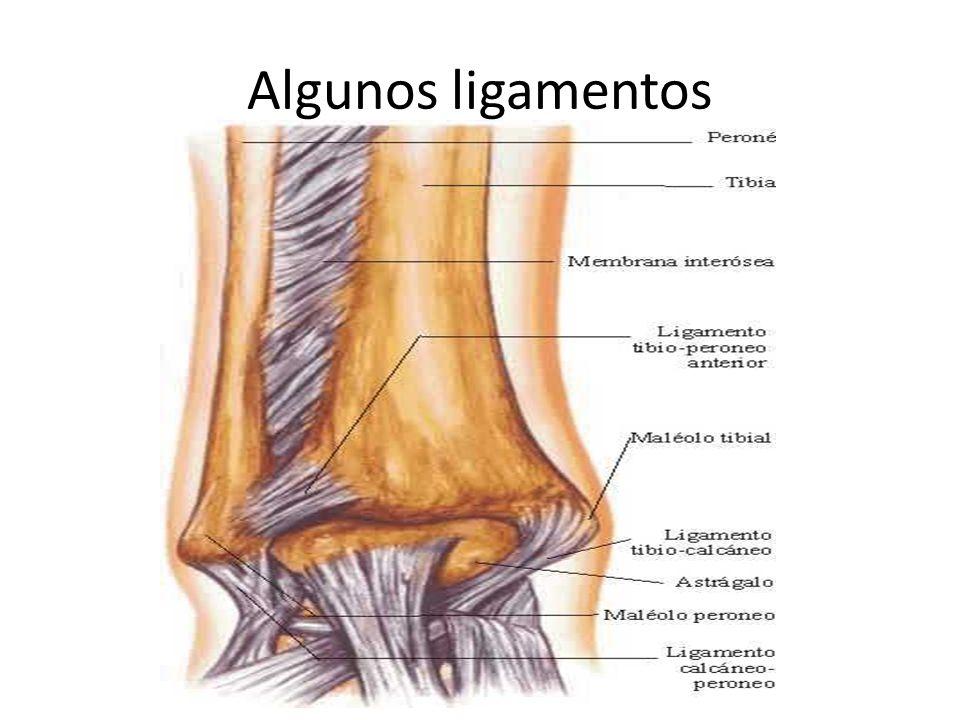 Algunos ligamentos