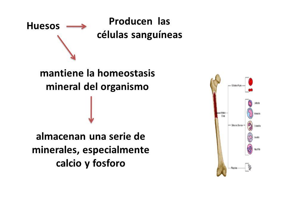 Huesos Producen las células sanguíneas mantiene la homeostasis mineral del organismo almacenan una serie de minerales, especialmente calcio y fosforo