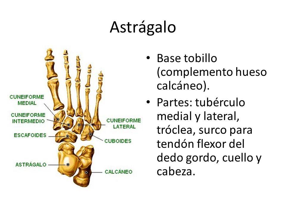 Astrágalo Base tobillo (complemento hueso calcáneo).