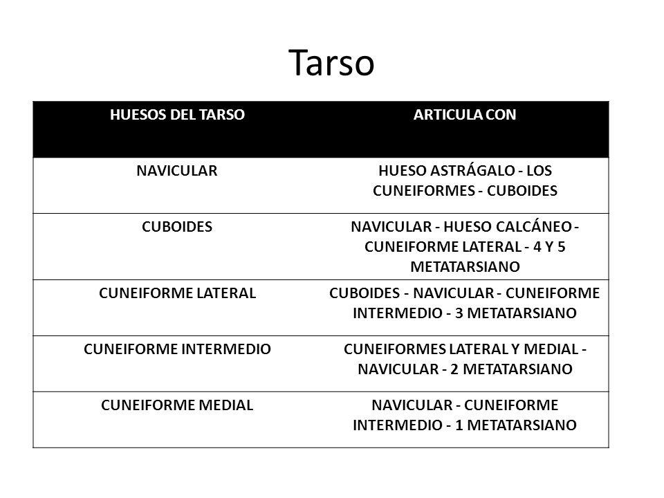 Tarso HUESOS DEL TARSOARTICULA CON NAVICULARHUESO ASTRÁGALO - LOS CUNEIFORMES - CUBOIDES CUBOIDESNAVICULAR - HUESO CALCÁNEO - CUNEIFORME LATERAL - 4 Y 5 METATARSIANO CUNEIFORME LATERALCUBOIDES - NAVICULAR - CUNEIFORME INTERMEDIO - 3 METATARSIANO CUNEIFORME INTERMEDIOCUNEIFORMES LATERAL Y MEDIAL - NAVICULAR - 2 METATARSIANO CUNEIFORME MEDIALNAVICULAR - CUNEIFORME INTERMEDIO - 1 METATARSIANO