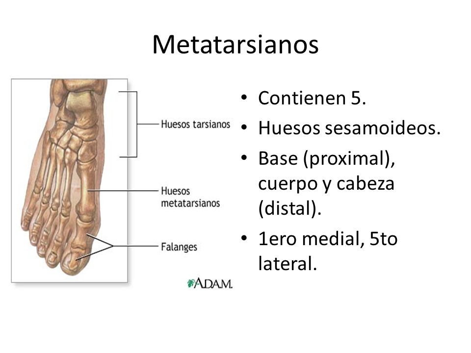 Metatarsianos Contienen 5. Huesos sesamoideos. Base (proximal), cuerpo y cabeza (distal). 1ero medial, 5to lateral.