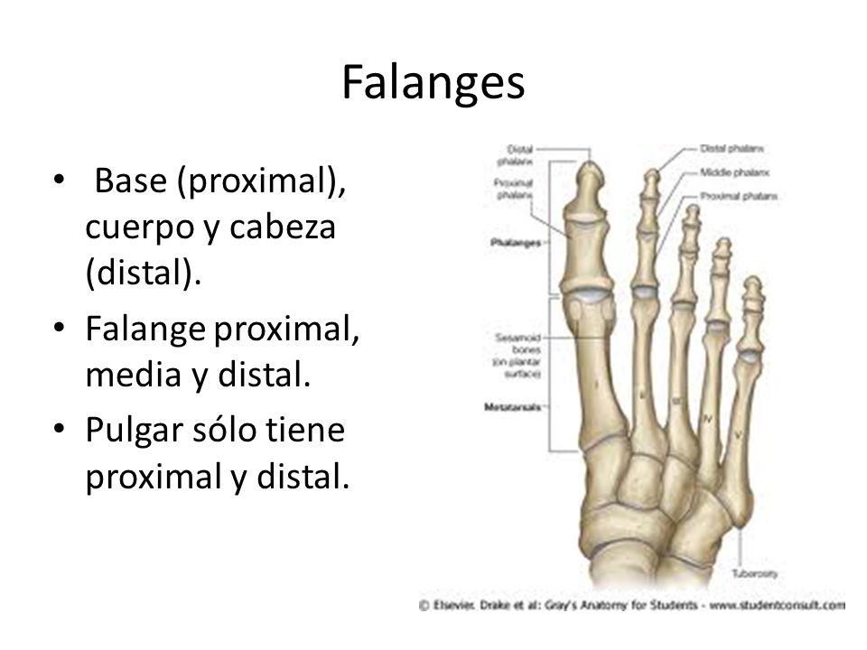 Falanges Base (proximal), cuerpo y cabeza (distal).