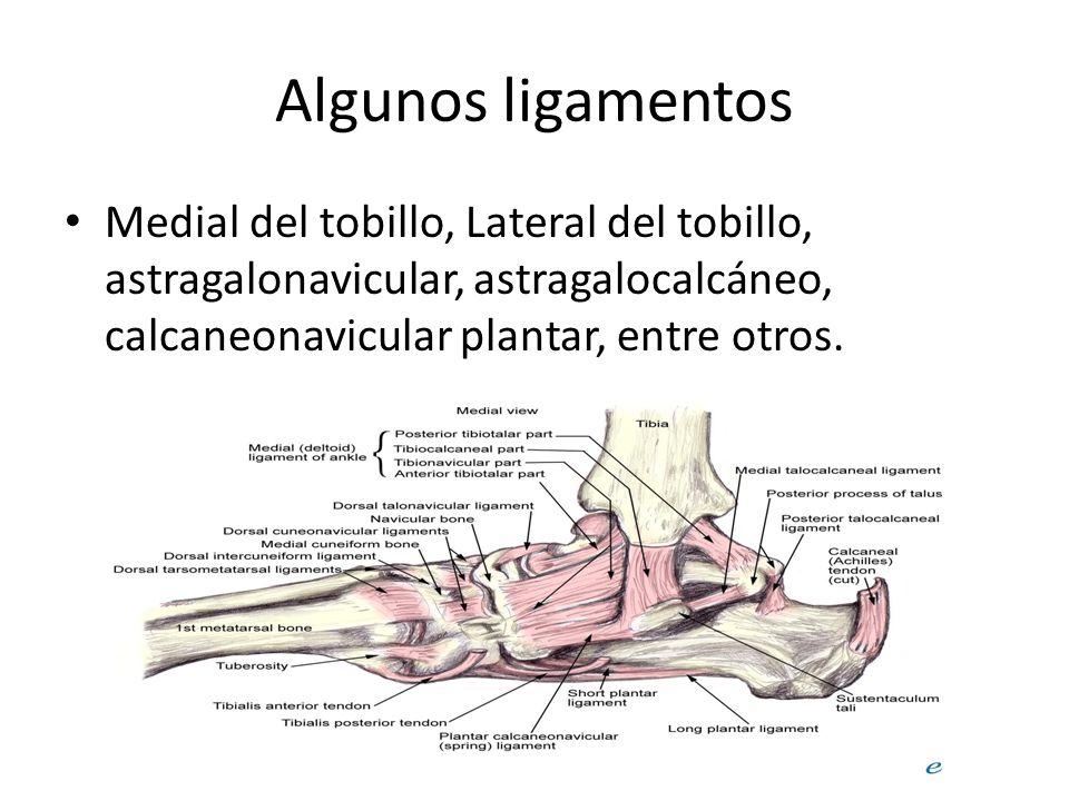 Algunos ligamentos Medial del tobillo, Lateral del tobillo, astragalonavicular, astragalocalcáneo, calcaneonavicular plantar, entre otros.