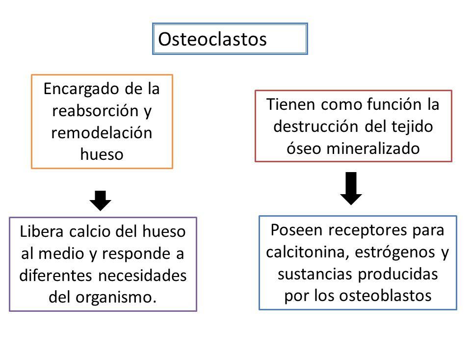 Osteoclastos Encargado de la reabsorción y remodelación hueso Libera calcio del hueso al medio y responde a diferentes necesidades del organismo.