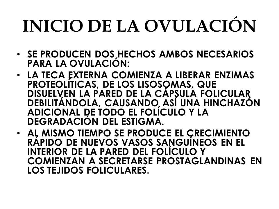INICIO DE LA OVULACIÓN SE PRODUCEN DOS HECHOS AMBOS NECESARIOS PARA LA OVULACIÓN: LA TECA EXTERNA COMIENZA A LIBERAR ENZIMAS PROTEOLÍTICAS, DE LOS LISOSOMAS, QUE DISUELVEN LA PARED DE LA CÁPSULA FOLICULAR DEBILITÁNDOLA, CAUSANDO ASÍ UNA HINCHAZÓN ADICIONAL DE TODO EL FOLÍCULO Y LA DEGRADACIÓN DEL ESTIGMA.
