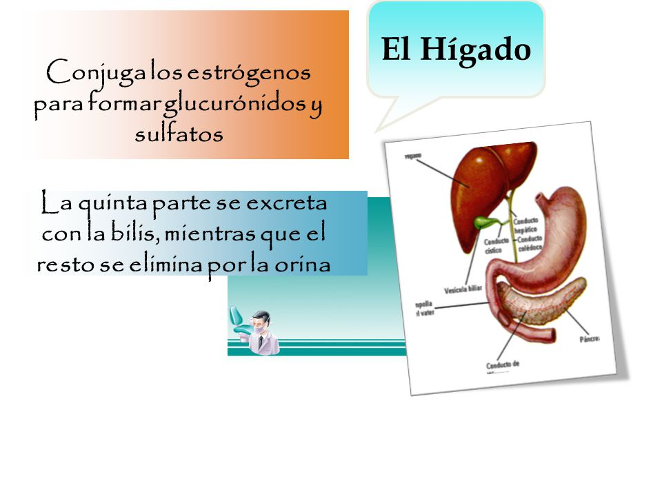 Conjuga los estrógenos para formar glucurónidos y sulfatos La quinta parte se excreta con la bilis, mientras que el resto se elimina por la orina El Hígado