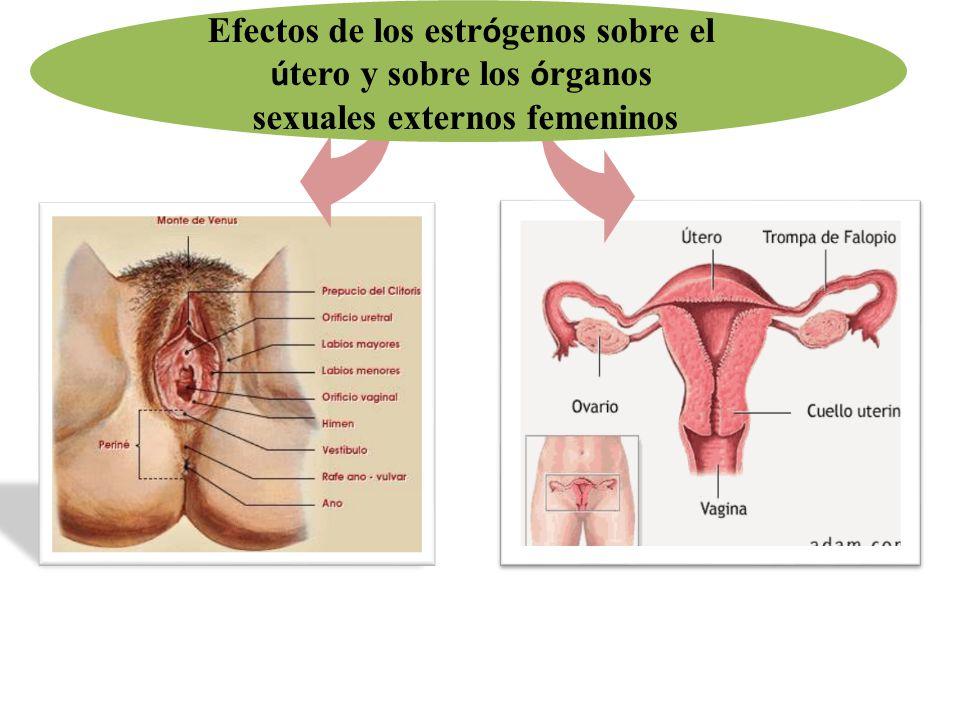 Efectos de los estr ó genos sobre el ú tero y sobre los ó rganos sexuales externos femeninos