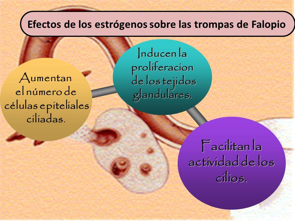 Inducen la proliferacion de los tejidos de los tejidosglandulares.