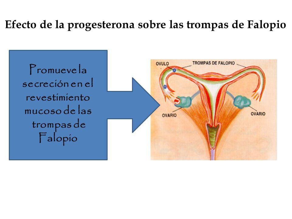 Efecto de la progesterona sobre las trompas de Falopio Promueve la secreción en el revestimiento mucoso de las trompas de Falopio