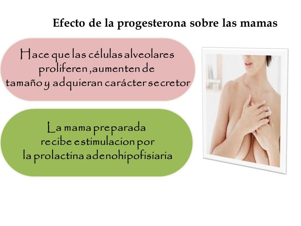 Efecto de la progesterona sobre las mamas Hace que las células alveolares proliferen,aumenten de tamaño y adquieran carácter secretor La mama preparada recibe estimulacion por la prolactina adenohipofisiaria
