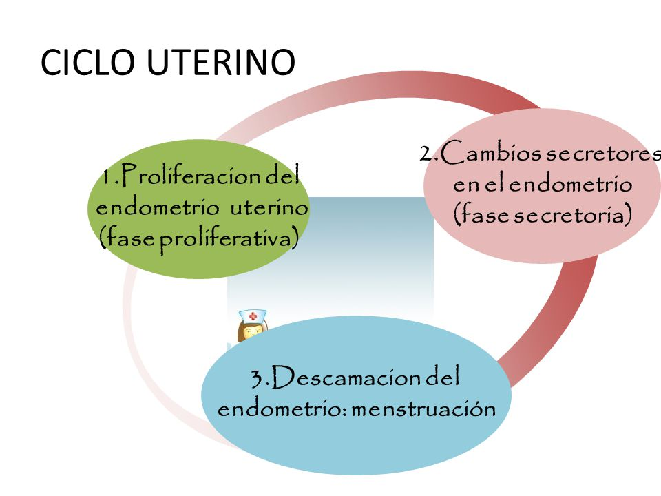 CICLO UTERINO 1.Proliferacion del endometrio uterino (fase proliferativa) 2.Cambios secretores en el endometrio (fase secretoria) 3.Descamacion del endometrio: menstruación