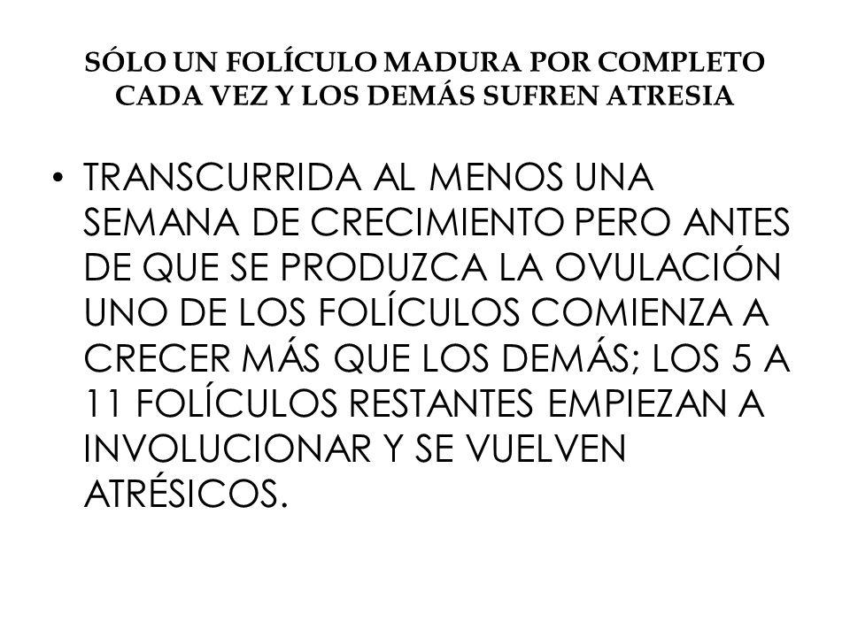 SÓLO UN FOLÍCULO MADURA POR COMPLETO CADA VEZ Y LOS DEMÁS SUFREN ATRESIA TRANSCURRIDA AL MENOS UNA SEMANA DE CRECIMIENTO PERO ANTES DE QUE SE PRODUZCA LA OVULACIÓN UNO DE LOS FOLÍCULOS COMIENZA A CRECER MÁS QUE LOS DEMÁS; LOS 5 A 11 FOLÍCULOS RESTANTES EMPIEZAN A INVOLUCIONAR Y SE VUELVEN ATRÉSICOS.