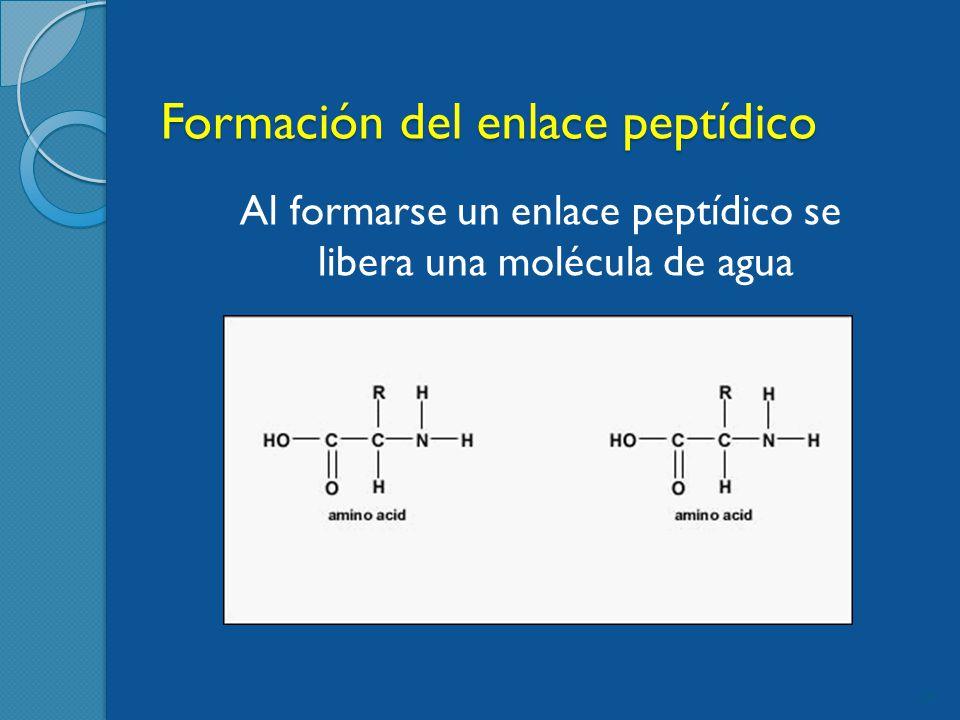 Formación del enlace peptídico 24 Al formarse un enlace peptídico se libera una molécula de agua
