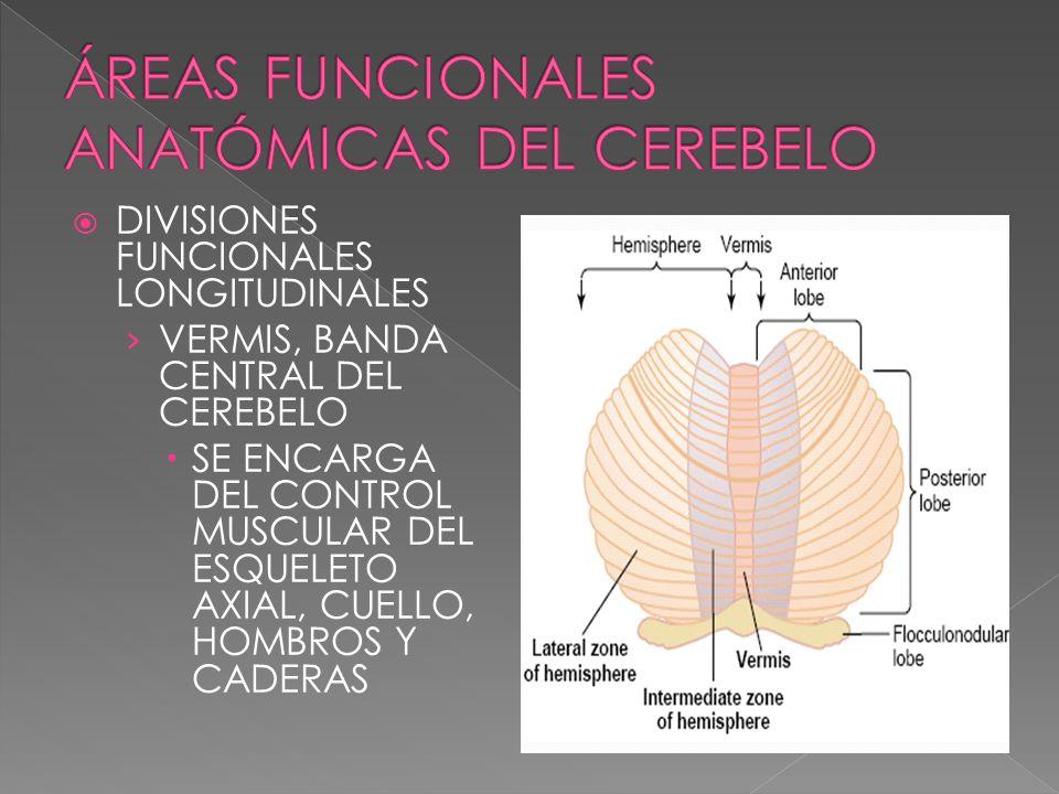 DIVISIONES FUNCIONALES LONGITUDINALES VERMIS, BANDA CENTRAL DEL CEREBELO SE ENCARGA DEL CONTROL MUSCULAR DEL ESQUELETO AXIAL, CUELLO, HOMBROS Y CADERA