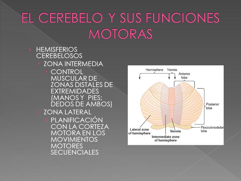 HEMISFERIOS CEREBELOSOS ZONA INTERMEDIA CONTROL MUSCULAR DE ZONAS DISTALES DE EXTREMIDADES (MANOS Y PIES; DEDOS DE AMBOS) ZONA LATERAL PLANIFICACIÓN C