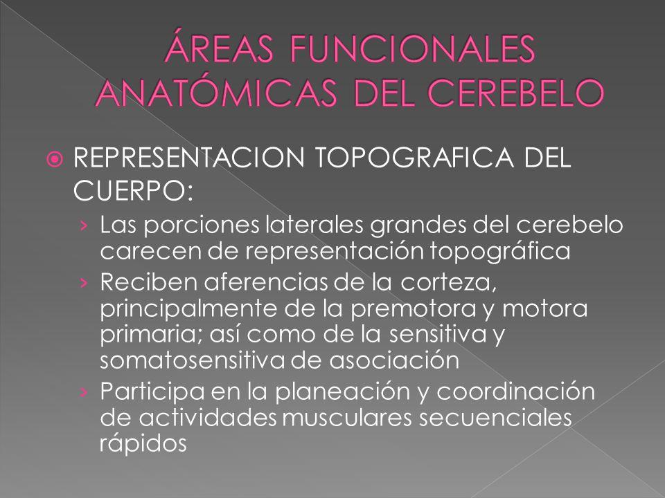 REPRESENTACION TOPOGRAFICA DEL CUERPO: Las porciones laterales grandes del cerebelo carecen de representación topográfica Reciben aferencias de la cor