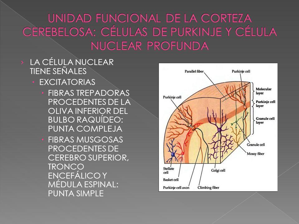 LA CÉLULA NUCLEAR TIENE SEÑALES EXCITATORIAS FIBRAS TREPADORAS PROCEDENTES DE LA OLIVA INFERIOR DEL BULBO RAQUÍDEO: PUNTA COMPLEJA FIBRAS MUSGOSAS PRO