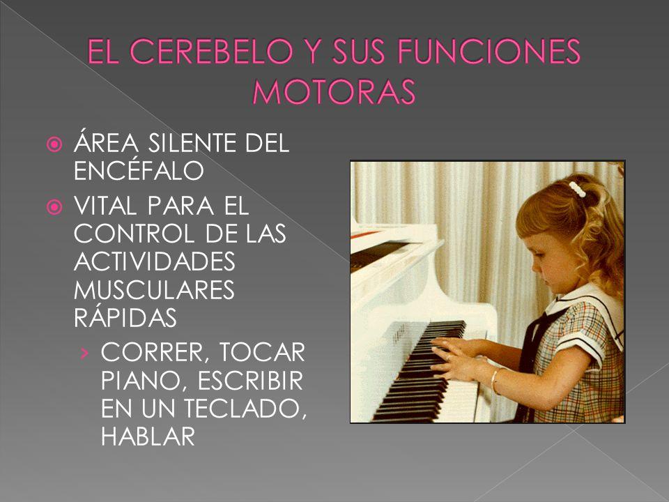 ÁREA SILENTE DEL ENCÉFALO VITAL PARA EL CONTROL DE LAS ACTIVIDADES MUSCULARES RÁPIDAS CORRER, TOCAR PIANO, ESCRIBIR EN UN TECLADO, HABLAR
