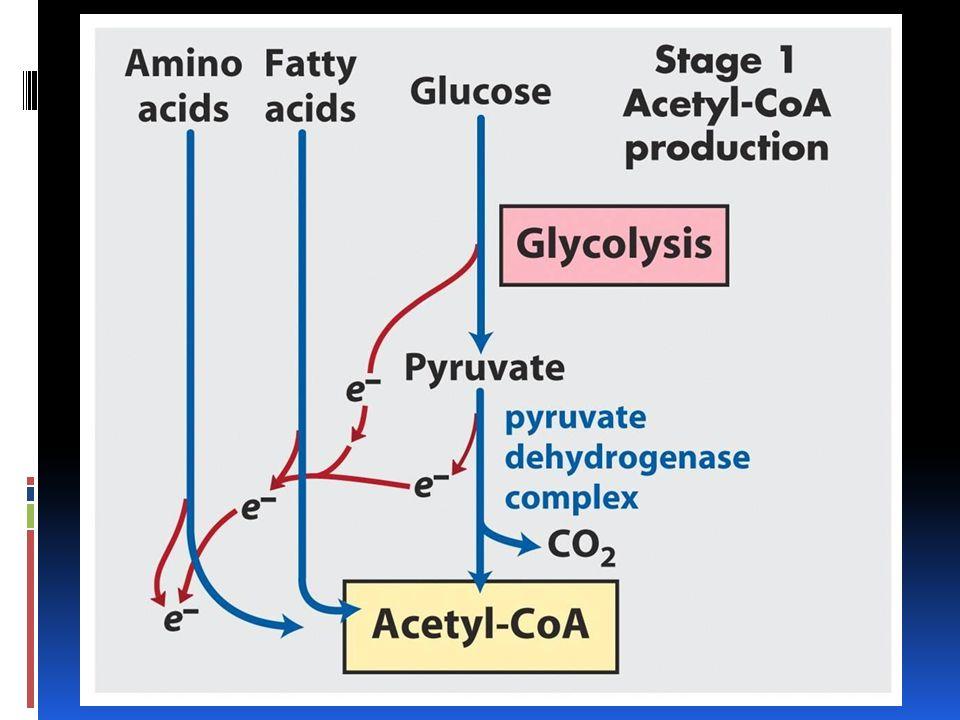 Ciclo Glioxilato En plantas esta reacción se lleva a cabo en organelos llamados glioxisomas Variedad de peroxisoma, contiene enzimas que catalizan la conversión de ácidos grasos en azúcares.