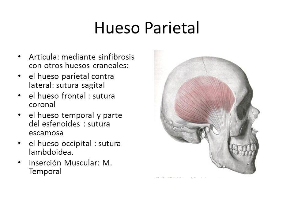 Hueso Parietal Articula: mediante sinfibrosis con otros huesos craneales: el hueso parietal contra lateral: sutura sagital el hueso frontal : sutura c