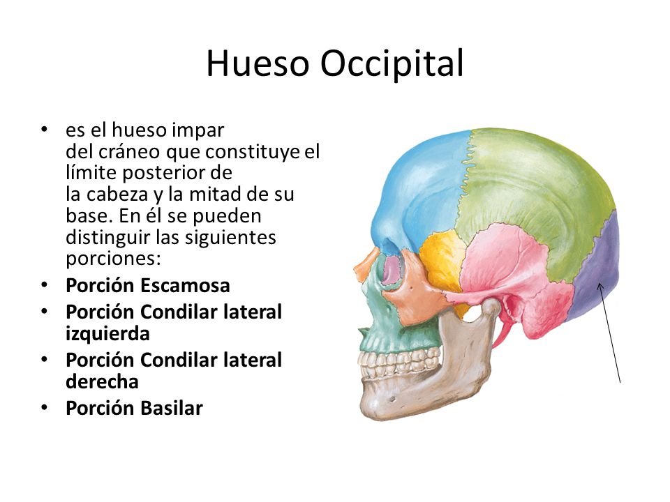 Hueso Occipital es el hueso impar del cráneo que constituye el límite posterior de la cabeza y la mitad de su base. En él se pueden distinguir las sig