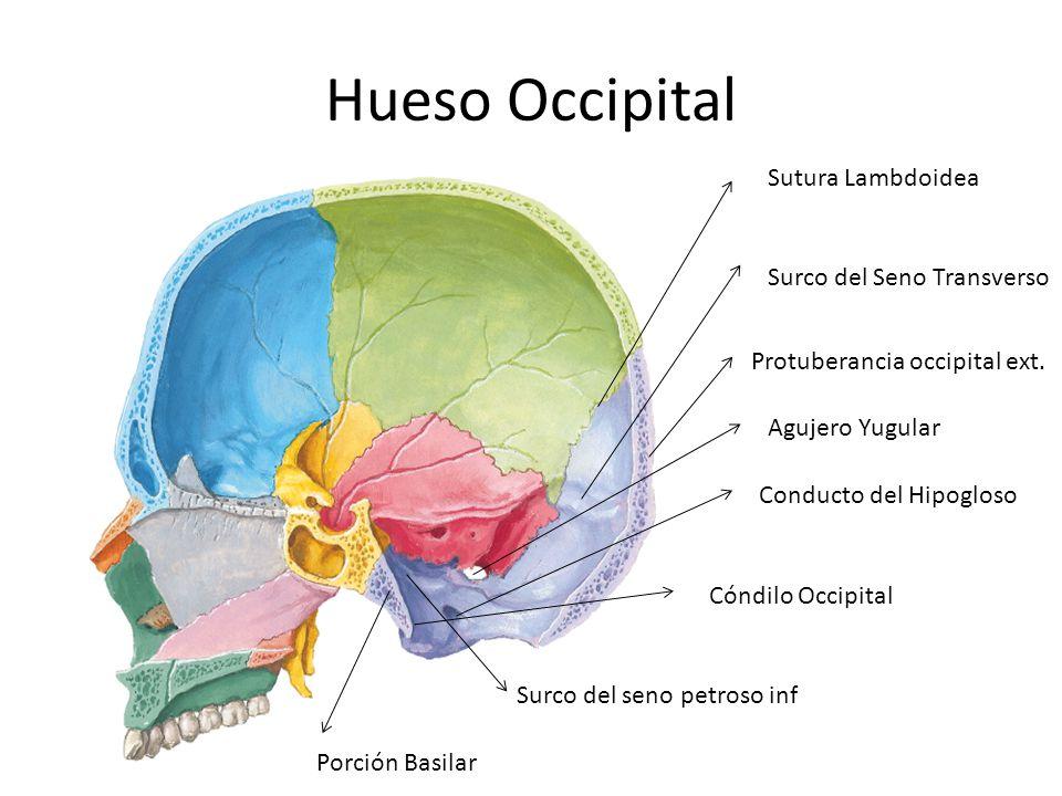 Hueso Occipital Sutura Lambdoidea Surco del Seno Transverso Protuberancia occipital ext. Agujero Yugular Conducto del Hipogloso Surco del seno petroso