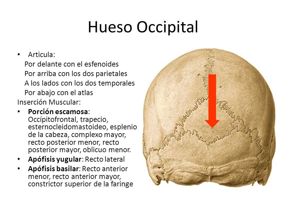 Hueso Occipital Articula: Por delante con el esfenoides Por arriba con los dos parietales A los lados con los dos temporales Por abajo con el atlas In