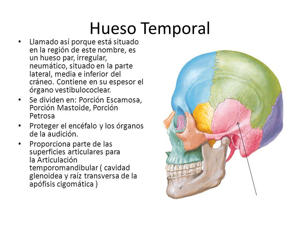 Hueso Temporal Llamado así porque está situado en la región de este nombre, es un hueso par, irregular, neumático, situado en la parte lateral, media