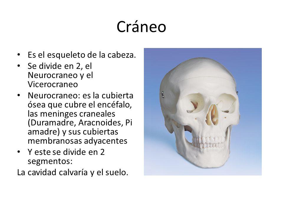 Cráneo Es el esqueleto de la cabeza. Se divide en 2, el Neurocraneo y el Vicerocraneo Neurocraneo: es la cubierta ósea que cubre el encéfalo, las meni