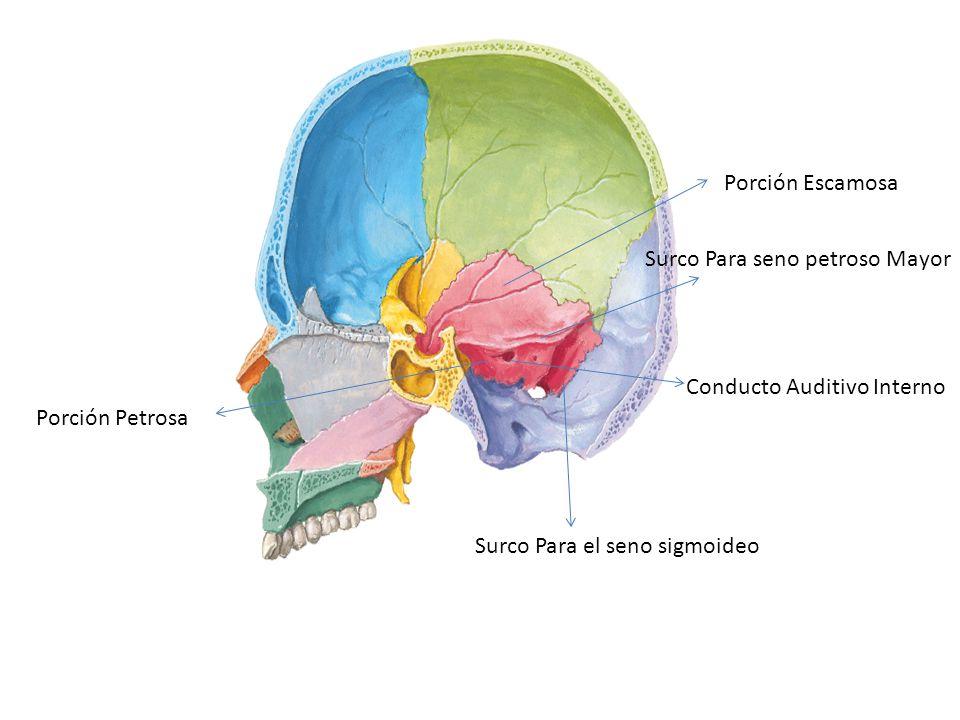 Porción Escamosa Porción Petrosa Conducto Auditivo Interno Surco Para seno petroso Mayor Surco Para el seno sigmoideo