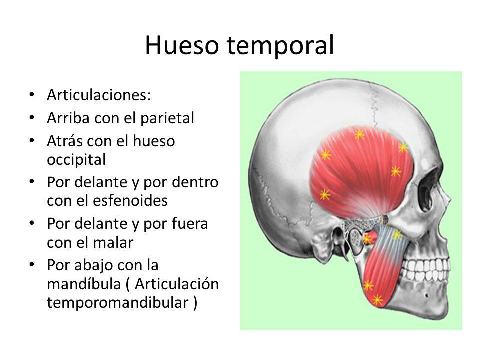 Hueso temporal Articulaciones: Arriba con el parietal Atrás con el hueso occipital Por delante y por dentro con el esfenoides Por delante y por fuera