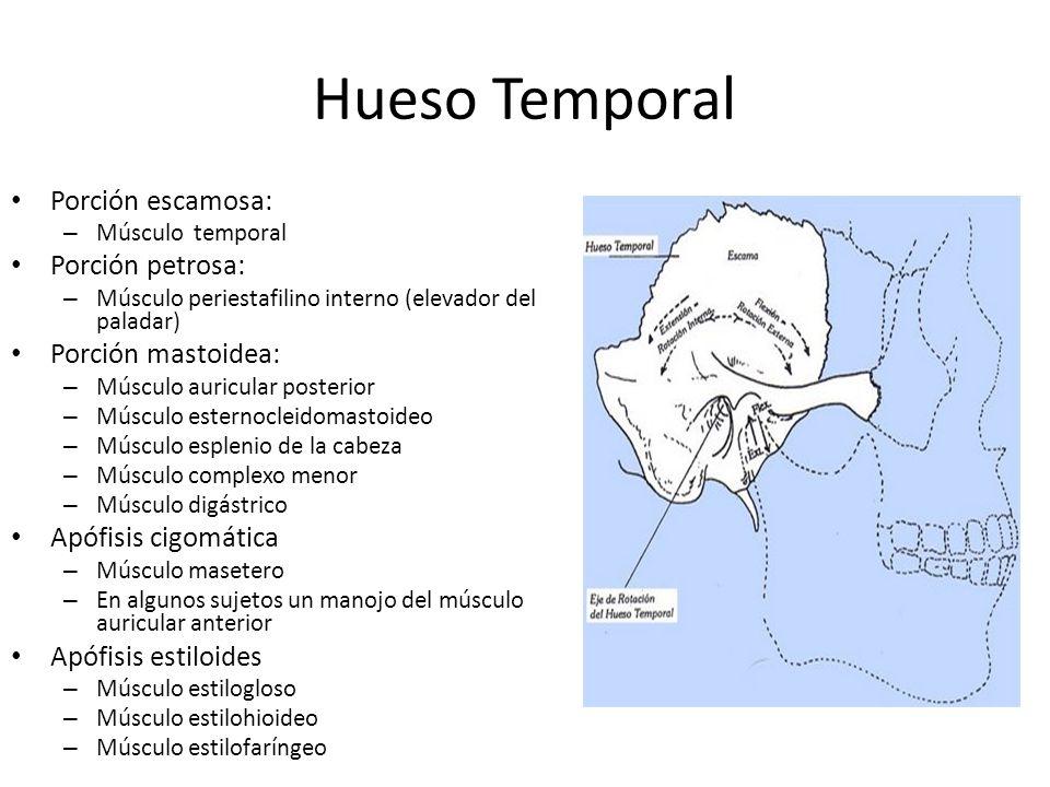 Hueso Temporal Porción escamosa: – Músculo temporal Porción petrosa: – Músculo periestafilino interno (elevador del paladar) Porción mastoidea: – Músc