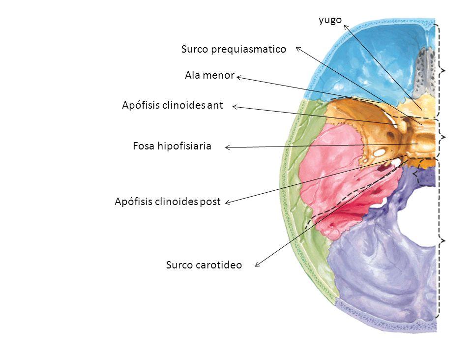 yugo Surco prequiasmatico Ala menor Apófisis clinoides ant Fosa hipofisiaria Apófisis clinoides post Surco carotideo