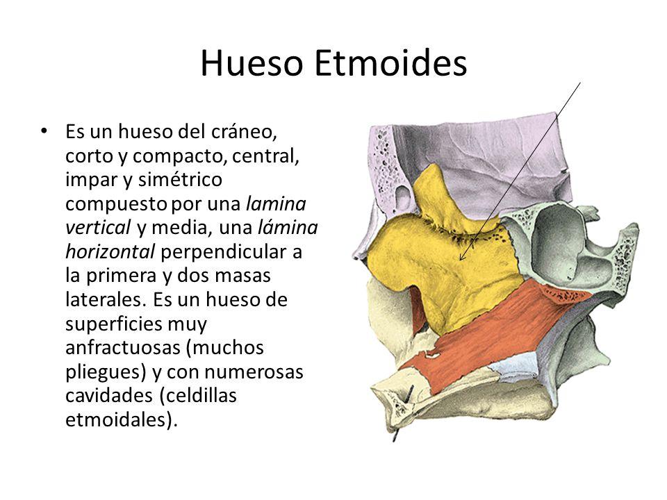 Hueso Etmoides Es un hueso del cráneo, corto y compacto, central, impar y simétrico compuesto por una lamina vertical y media, una lámina horizontal p