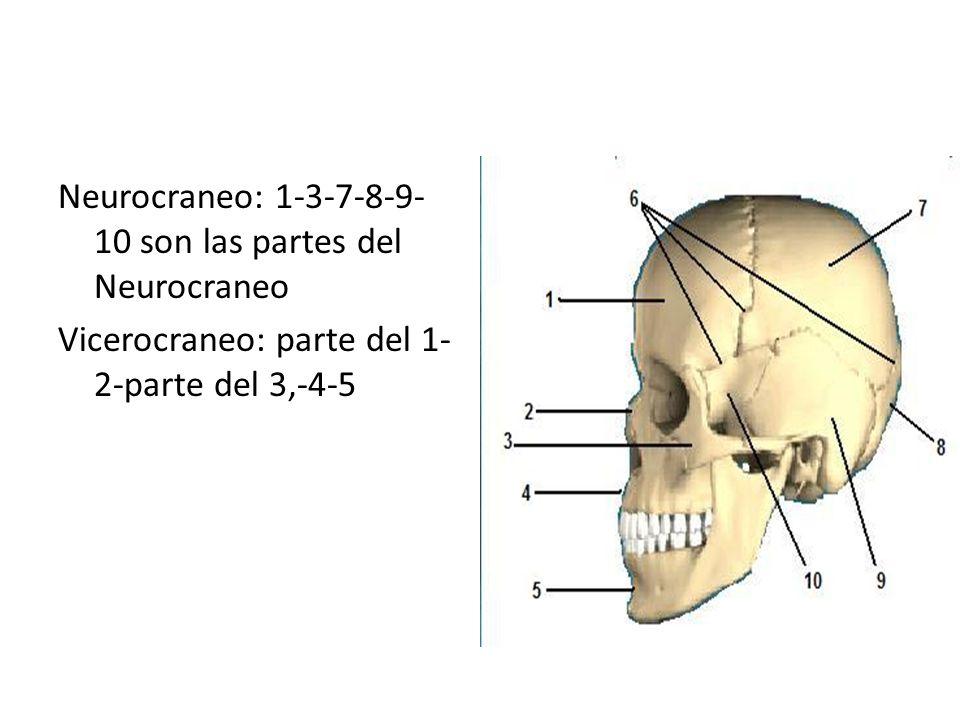 Hueso Cigomático Es un hueso par, corto y compacto, situado en la parte mas externa de la cara, en forma cuadrilátera que forma el pómulo de la cara y parte de la órbita y presentan un saliente o proceso cigomático que se une hacia atrás con el proceso cigomático del hueso temporal.