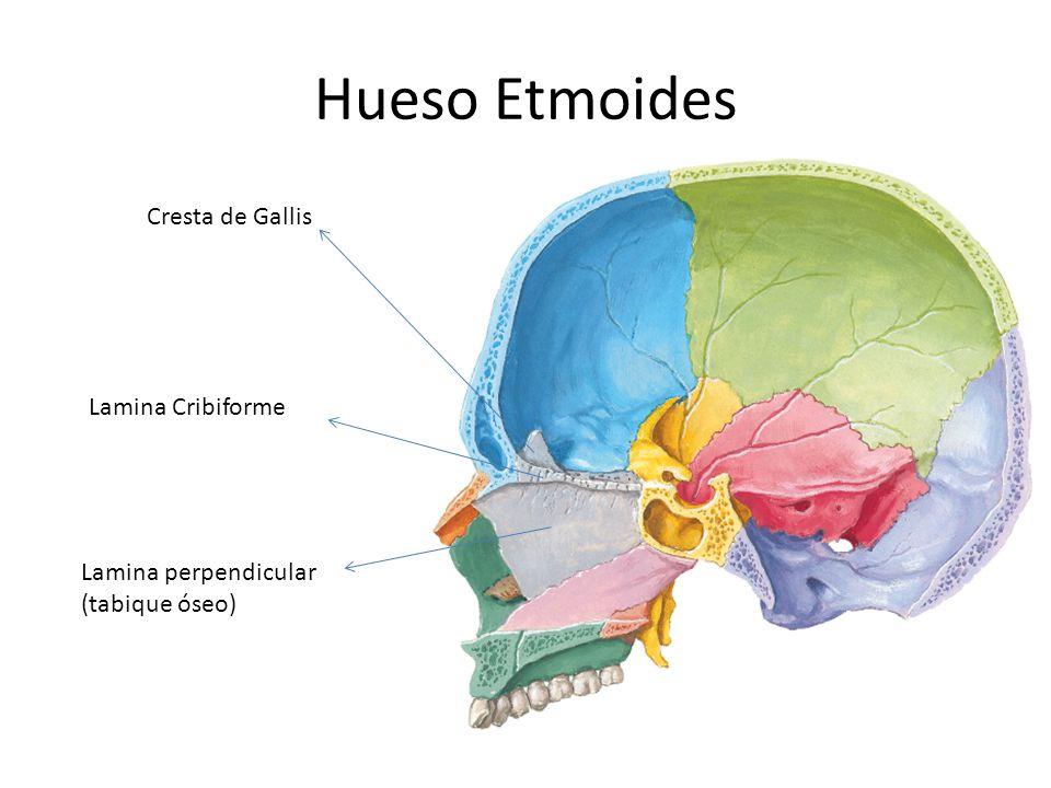Hueso Etmoides Cresta de Gallis Lamina Cribiforme Lamina perpendicular (tabique óseo)