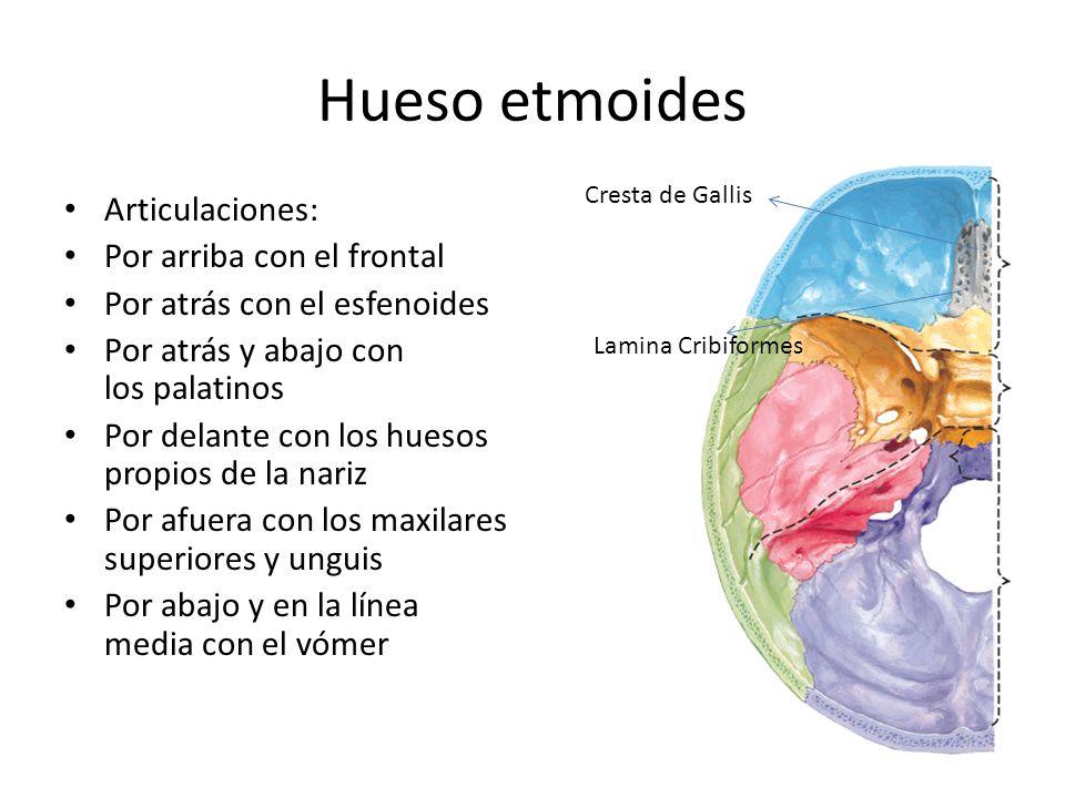 Hueso etmoides Articulaciones: Por arriba con el frontal Por atrás con el esfenoides Por atrás y abajo con los palatinos Por delante con los huesos pr